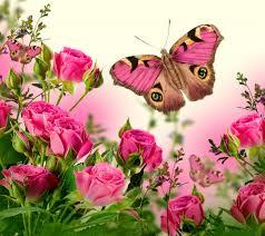 roses blossom butterflies flowers pink rose flower wallpaper
