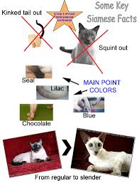 siamese cat facts for kids poc