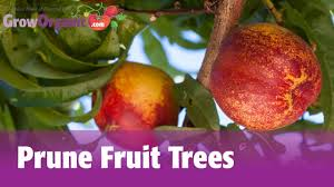 Prune Fruit Trees How To Prune Fruit Trees Www Nfextracts Com Look Pinterest