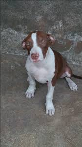 american pitbull terrier 5 months old 5months old male red nose pitbull running on yellow john blood for