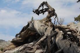 free photo twisted wood mountain tree free image on pixabay