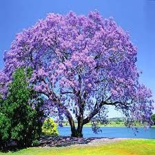 blue jacaranda jacaranda mimosifolia more often known simply as