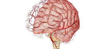 Blood Brain Barrier Anatomy Football Blood Brain Barrier Damage Alleged