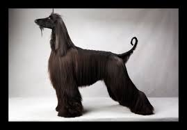 afghan hound westminster dogs fred r conrad photography