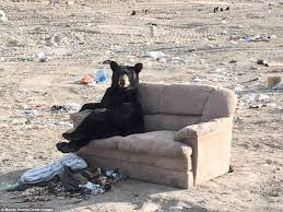 Bear On The Chair Mandy Stantic Photographs Black Bear Relaxing On A Couch Daily