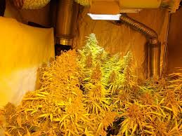 Hps Lights Dutch Passion Think Different Grown Under Plasma And 1800w Hps