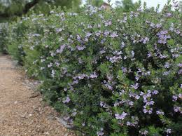 best australian native hedge plants westringia the perfect hedge palmers garden centre