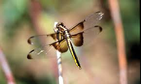 make your yard a dragonfly haven ohioec org