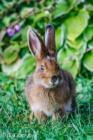 229 best brown bunnies images on pinterest bunny rabbits