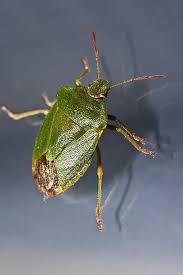 was ist das für ein insekt eine wanze oder was urlaub insekten wanze grün insekt kostenloses foto auf pixabay