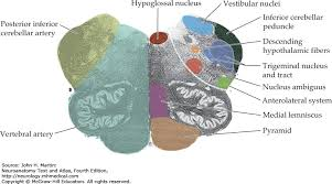 Pyramids Of The Medulla Cranial Nerve Motor Nuclei And Brain Stem Motor Functions