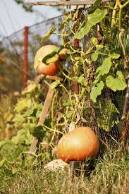 can pumpkins grow on trellises information about growing