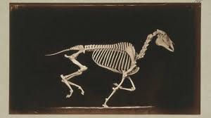 horse skeleton halloween 1881 eadward muybridge