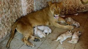 lions for sale s pet lion has five cub litter
