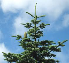 noble christmas tree abies procera
