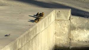 funny little ducklings learn to jump after their mother cute and