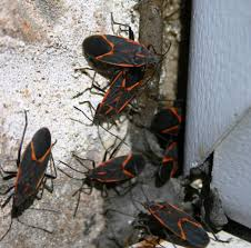 Tiny Red Bugs On Patio by Get Rid Of Box Elders While You Can Mlive Com