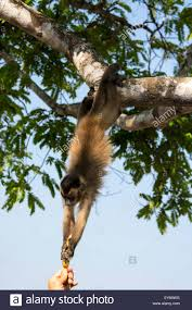 brown capuchin monkey cebus apella hanging down from a tree to