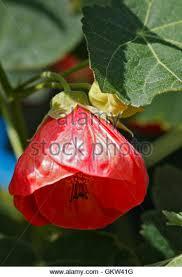 lantern flower lantern flower stock photos lantern flower stock