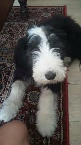 bearded collie x terrier bearded collie bearded collie collie and dog breeds