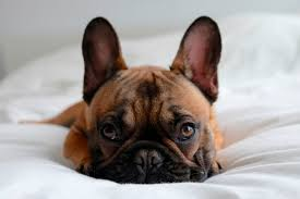 5 things you didn t know about french bulldogs