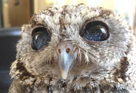 zeus the blind rescue owl has galaxies in his eyes one green