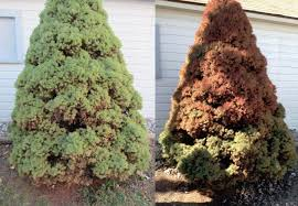browning spreading yew u0026 evergreens ask an expert