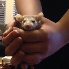 are possums our savior against disease humane animal relocation