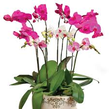 Orchid Plants Singapore Orchids Flowers Gifts U0026 Bouquet In Usd Floweradvisor