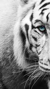 black and white tiger wallpapers 71