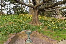 Botanical Gardens In Brooklyn by Spellbinder Daffodils Bloom Beneath An Oak Tree In The Brooklyn