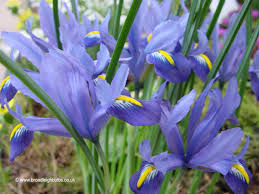 iris in the garden broadleigh gardens