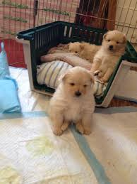 how the pomeranian puppies sit aww
