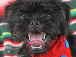 affenpinscher long hair dog breeds that live the longest business insider