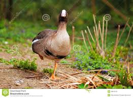 funny duck standing on one leg stock photo image 39816167