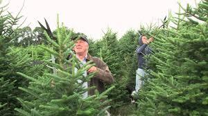 needlefresh christmas tree pruning u0026 growing techniques youtube