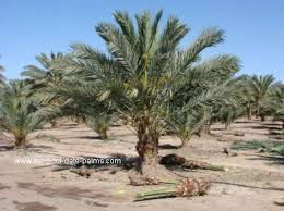 palms for palm sunday purchase medjool date palm with shoots removed jpg