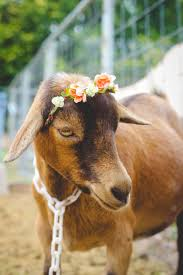 this is why you u0027ll fall in love with nigerian dwarf goats weed