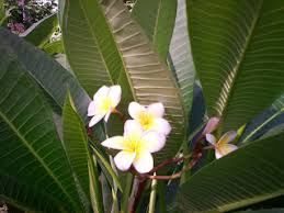 arun pratap singh flowering and ornamental trees for home garden