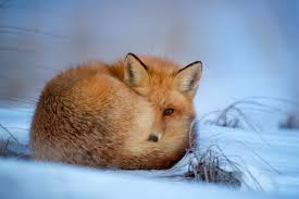 free stock photo of curled up fox public domain photo cc0 images