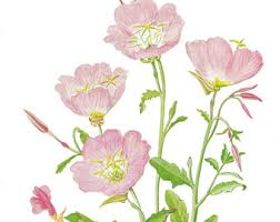 Pink Primrose Flower - evening primrose 6 am version two clock tattoo brucius