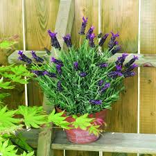 Fragrant Container Plants - 172 best shades of purple images on pinterest plant catalogs
