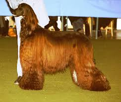 afghan hound vetstreet animal the pretty long haired afghan hound dogs and the least