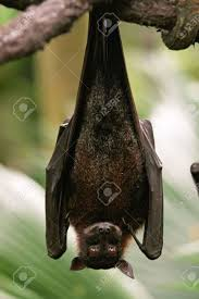 bat hanging upside down on branch stock photo picture and royalty