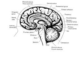 Image Of Brain Anatomy Is God The Brain In The Creation