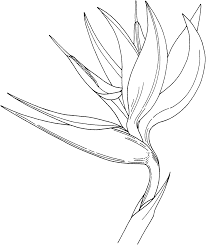 bird of paradise flower coloring online super coloring clipart