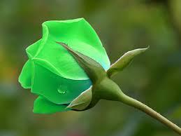 green roses flower shop green flower