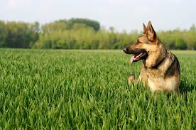 choosing a german shepherd puppy dealing with scary cluster seizures in a german shepherd