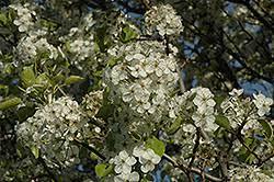 cleveland select ornamental pear pyrus calleryana cleveland