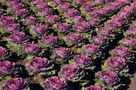капуста ornamental lettuce roma parkland bris flickr